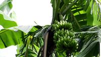 Banana Trees And Fruits