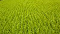 Drone footage 4K - grönt fält