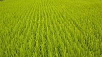 Drohne Footage 4K - grünes Feld