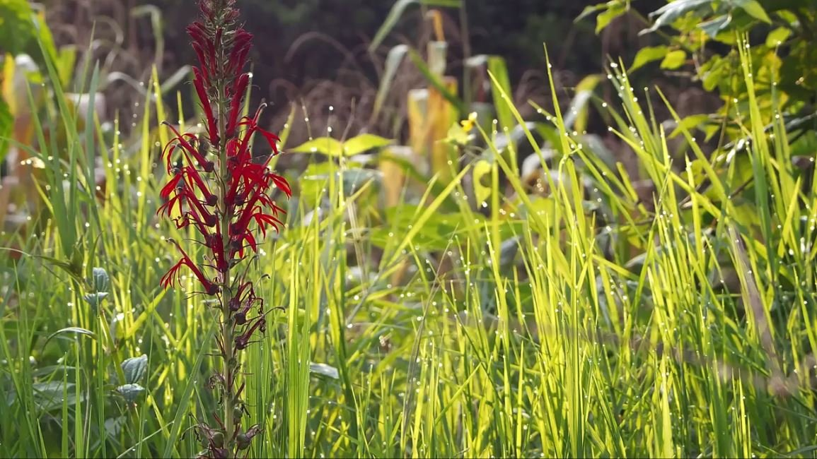 Red flowers with tall grass in background free hd video clips red flowers with tall grass in background free hd video clips stock video footage at videezy mightylinksfo