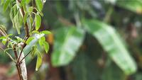 Little Leaves With Blurred Banana Tree In Background