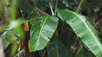 Banana Tree With Blurred Little Leaves In Foreground