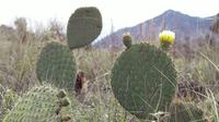 Nopal Cactus Plant And Grass