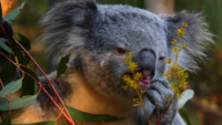 Urso Coala Comendo Planta 4K