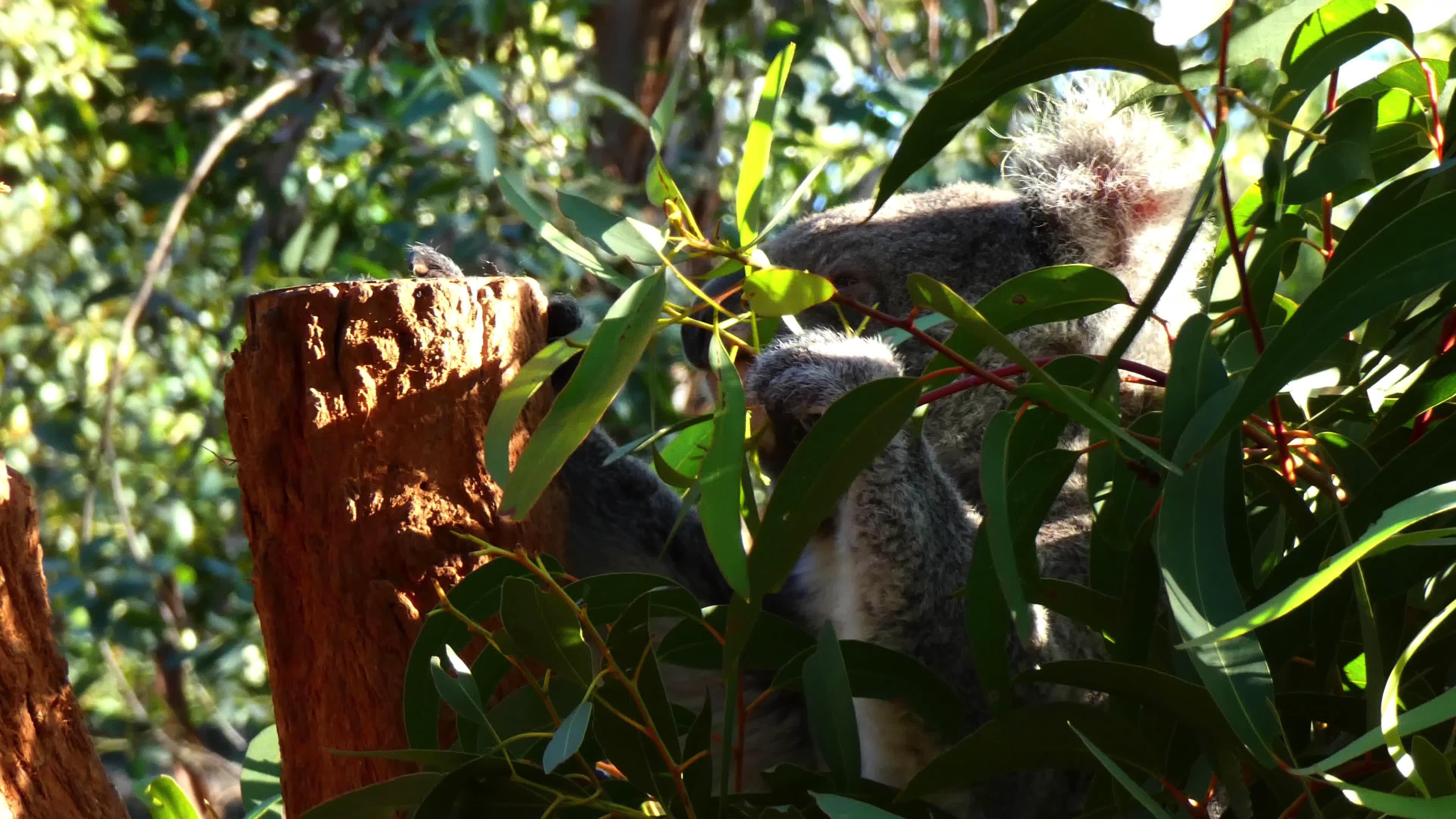 Oso Koala en el árbol 4K - ¡Clips y Vídeos HD de Gratis en Videezy!