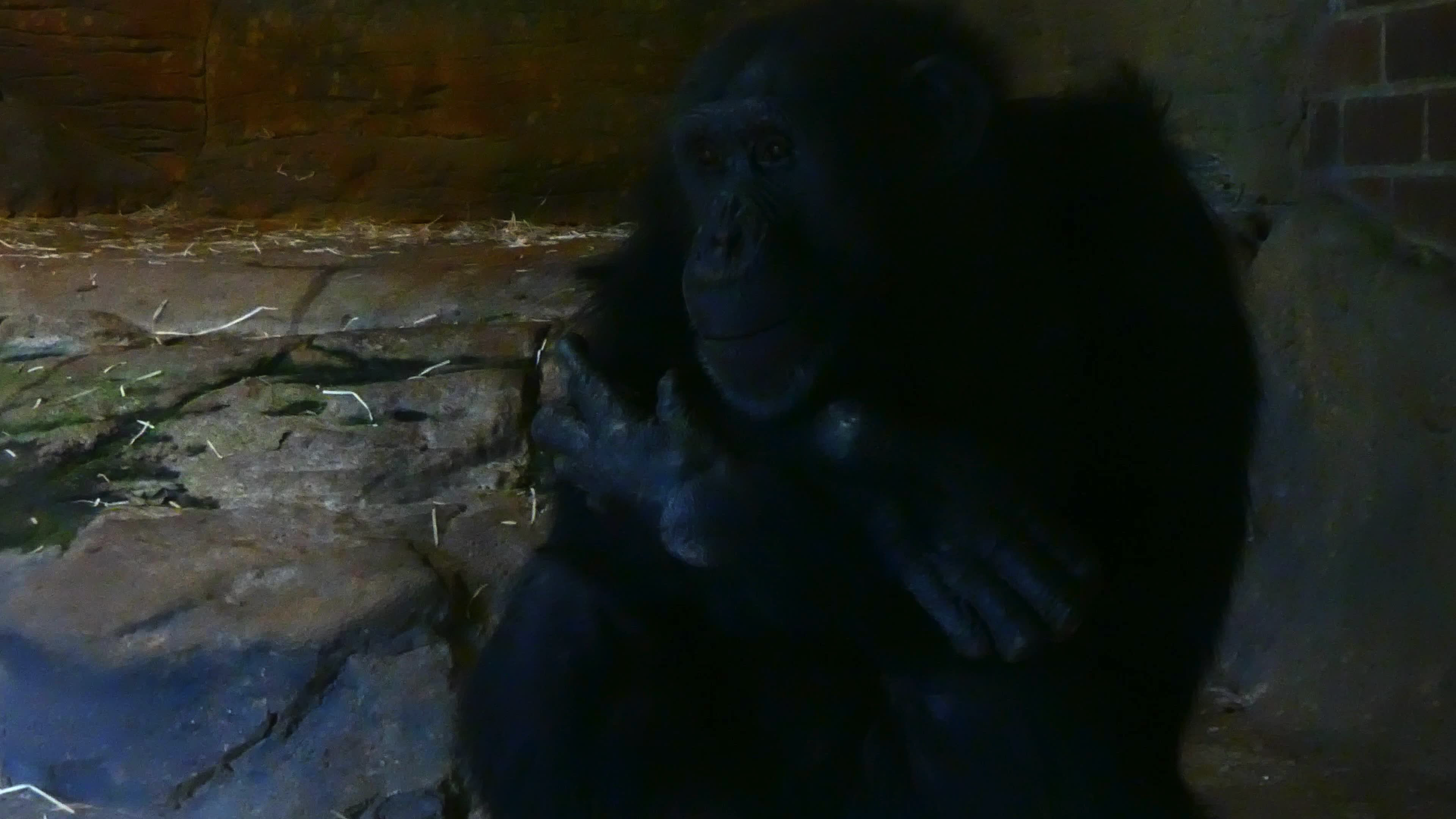 Close Shot of Gorilla at Zoo 4K - Free HD Video Clips