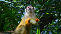 Capuchin Monkey Eating Fruit 4K