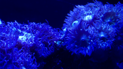 Sea Anemone 4K