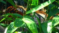 Tiger-laying-down-4k