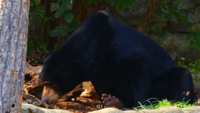 Black-bear-in-forest-4k
