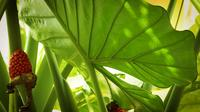 Stor Leaf Of Elephant Ear Plant och Red Seeds
