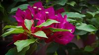 Bougainvillea-tak in tuin