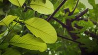 Big Light Green Leaves In Garden