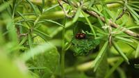 Pequeño insecto negro y rojo en la hoja