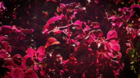 Violet Leaves In The Garden
