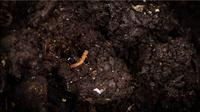 Earthworms In The Compost Box