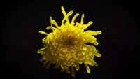 Big Yellow Flower In Darkness