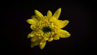 Small Yellow Flower With Drops In Darkness