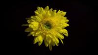 Yellow Flower In Darkness