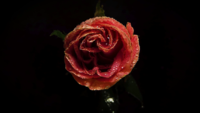 Pink Rose With Drops In Darkness