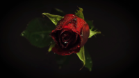 Dark Red Rose With Drops In Darkness