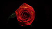 Red Rose With Drops In Darkness