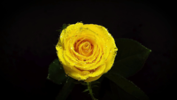 Yellow Rose With Drops In Darkness