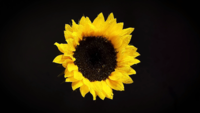 Sunflower In Darkness