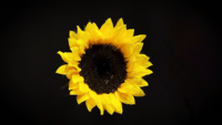 Sunflower With Drops In Darkness