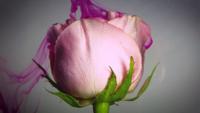Rosa Rose und Magenta Tinte