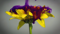 Yellow Flower And Purple Ink