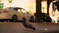 Pigeon On Dirty Street With Cars In Background