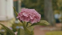 Närbild av vackra rosa blommor i trädgården