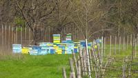 Netelroos met bijen