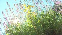 Lavendel gegen die Sonne