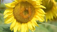 Bijen op een zonnebloem