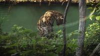 Chat léopard asiatique dans un habitat de zoo