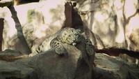 Leopardo da neve no habitat do jardim zoológico