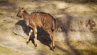 Young Nyala Deer Walking In Zoo Habitat