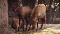 Jeunes rennes mangeant dans un habitat de zoo