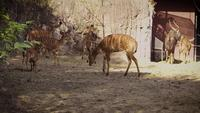 Young Nyala Deers In Zoo Habitat
