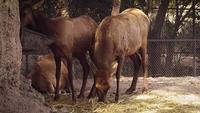 Junge Rentiere im Zoo-Habitat