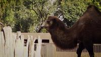 Camel Walking In Zoo Habitat
