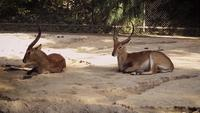 Gazelles In Zoo Habitat