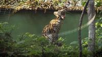 Gato leopardo asiático bostezando en el hábitat del zoológico