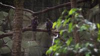 Golden Eagles In Zoo Habitat