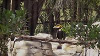 Gran Hornbill En Zoo Habitat