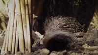 Porco-espinho no habitat do jardim zoológico