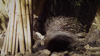 Stachelschwein im Zoo Habitat