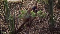 Pheasant in Zoo Habitat